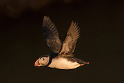 Atlantic Puffin in flight.