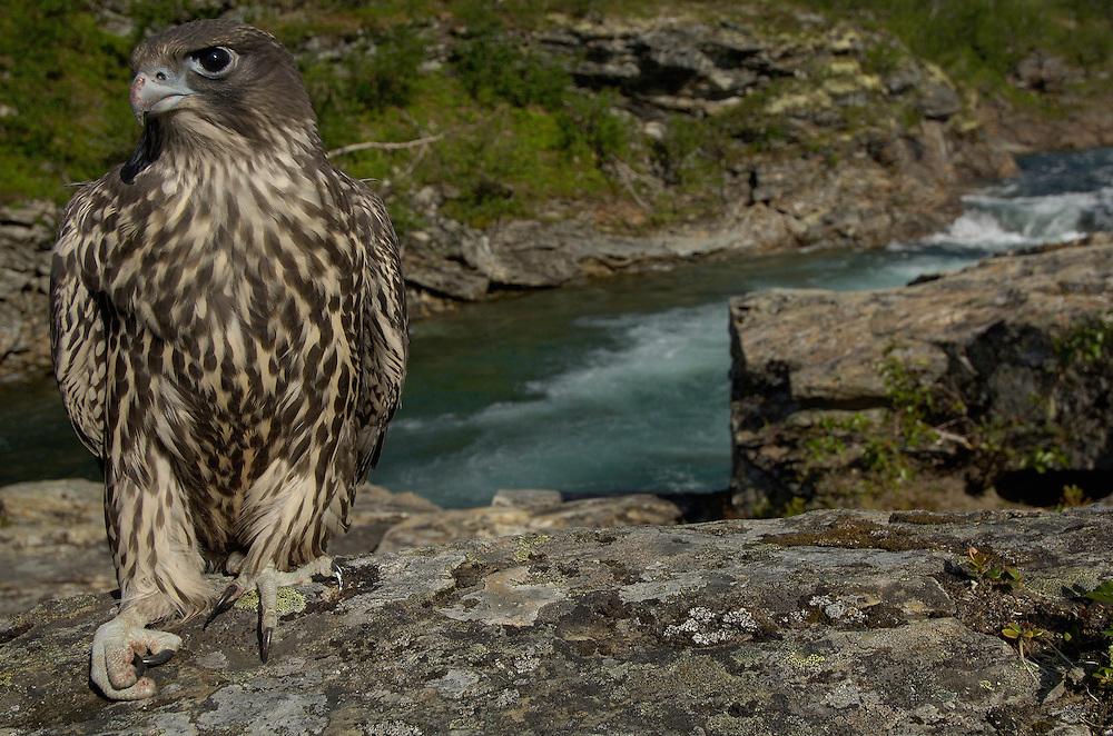 Gyr Falcon; Falco rusticolus; Jämtland; Sweden