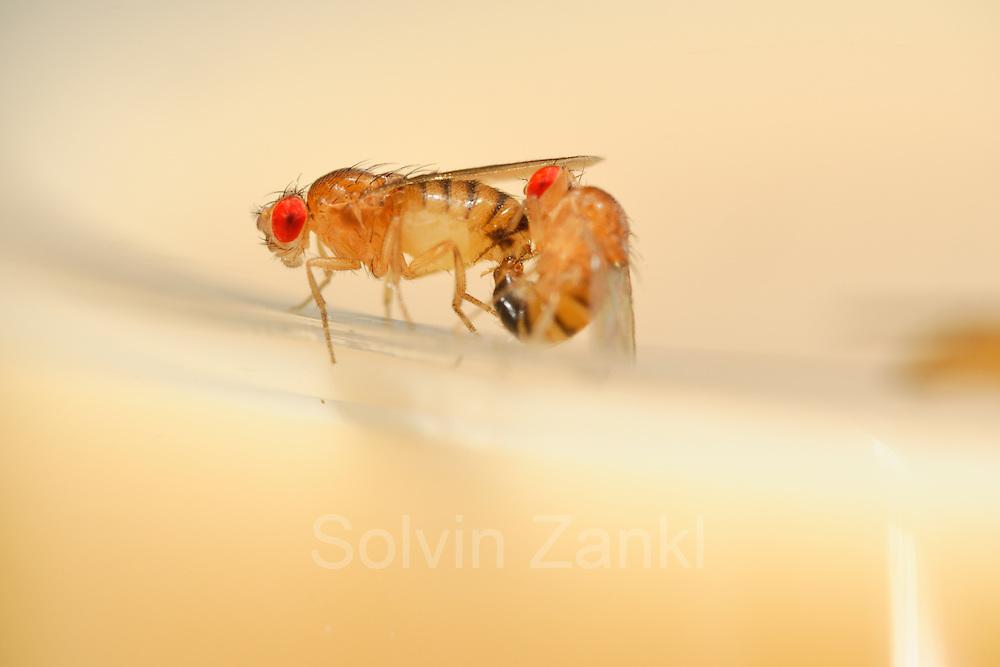 Mating Fruit Fly (Drosophila melanogaster) in a lab culture (wild type) |  Nach einer Umwerbung durch das Männchen läßt dieses Taufliegen-Weibchen (Drosophila melanogaster) des Wildtyp-Zuchtstammes die Begattung zu. Während der mehrere Minuten dauernden Paarung bieten die Vorderbeine und die Verbindung der beiden Geschlechtsöffnungen dem Männchen Halt auf dem Hinterleib des Weibchens.