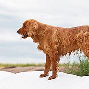 Golden Retriever farm dog on snowy hay bale
