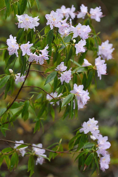 Rhododendrons, Tangjiahe National Nature Reserve, NNR, Qingchuan County, Sichuan province, China