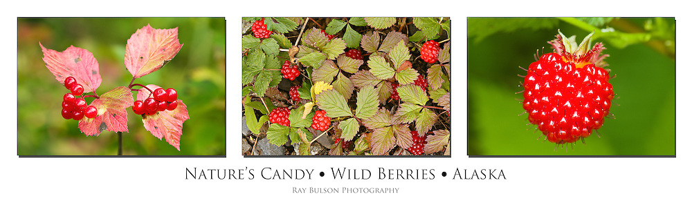 Triptych of High Bush Cranberries (Viburnum edule), Nagoonberries (Rubus arcticus), and Salmonberry (Rubus spectabilis) found in Southcentral Alaska.