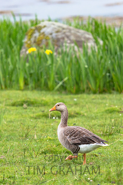 Greylag goose, Anser anser, - Greylags - walking on Isle of Mull in the Inner Hebrides and Western Isles, West Coast of Scotland