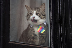 © Licensed to London News Pictures. 13/02/2018. London, UK. A cat, wearing a multi-coloured tie, belonging to WikiLeaks founder Julian Assange, is seen sitting in the window at the Embassy of Ecuador in London before a court ruling on his arrest warrant. The Australian and Ecuadoran national skipped bail to enter the embassy in 2012 in order to avoid extradition to Sweden over allegations of sexual assault and rape, which he denies. Photo credit: Ben Cawthra/LNP