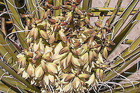 Photographed slightly from above, this Mojave yucca in the Mojave desert was historically a very important resource for the Native Americans who lived here. The tough yet pliable fibers in the leaves (needles) after beating them to break them apart were braided together to make rope, sandals, and woven together to make cloth.