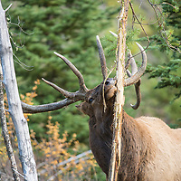 bull elk raking small tree