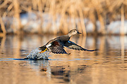 Gadwall, Mareca strepera, male, Brown County, South Dakota