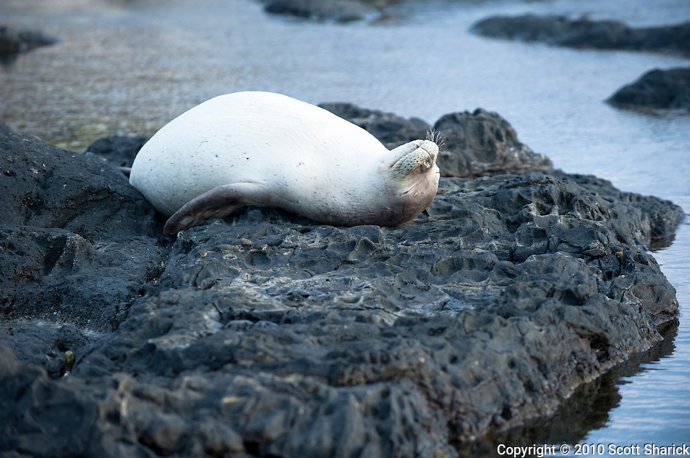A Hawaiian Monk Seal lays on its back at Kaena Point on Oahu.