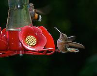 Female Rufus Hummingbird,  Courtenay B.C. (Photo by: Isobel Springett).