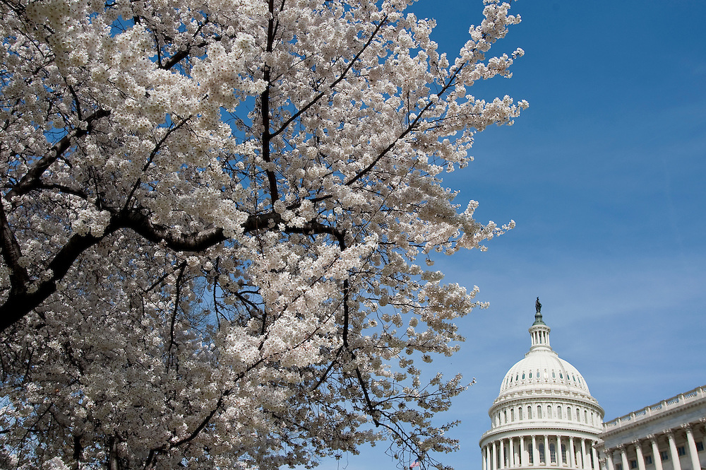 Mar 27,2010 - Washington, District of Columbia USA - 44th Cherry blossoms are blooming as the National Cherry Blossom Festival began Saturday in the U.S. capital...The two-week festival commemorates the 98th anniversary of the first cherry trees' arrival from Japan, and it coincides with the blooming of the cherry blossoms near the Capital Mall. (Credit Image: © Pete Marovich/ZUMA Press)