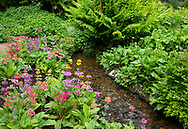 Multi-colourd Primula Candelabra around a stream in the bog garden at Forde Abbey, Chard, Dorset, UK