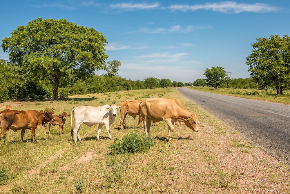 Francistown , Botswana -  Free range cattle in roadway