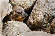 Rock Hyrax in the San Diego Zoo (believe it or not this East African and Middle Eastern creature is related to the elephant)