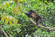 Mantled howler monkey feeding