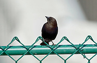 Brown-headed Cowbird (Molothrus ater), perched on a fence, Fish Creek Provincial Park, Calgary, Alberta, Canada   Photo: Peter Llewellyn