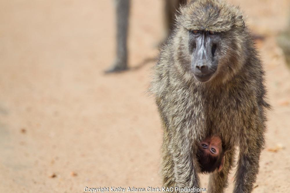 Olive baboon, Anubis baboon, Serengeti, Tanzania, Africa.