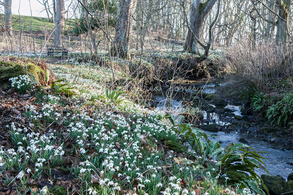 Carpet of Galanthus cv (snowdrops) by the Cambo Burn in the Woodland Walk<br /> <br /> <br /> <br /> Cambo Gardens, Fife, Scotland<br /> <br /> <br /> photography &copy; Andrea Jones