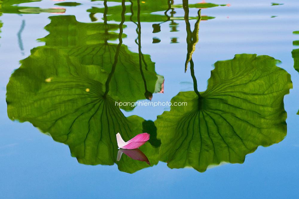 Vietnam Images-Nature-Lotus-Flower-Hoa sen -Hoàng thế Nhiệm