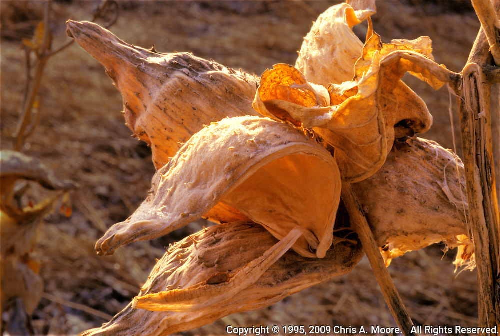 Milkweed Pods are backlit by the late afternoon sun at Monte Vista NWR, San Luis Valley, Colorado. March 1995