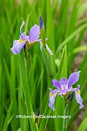 63899-05505 Blue Flag Iris (Iris versicolor) in wetland Marion Co. IL