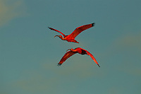 Two Scarlet Ibises (Eudocimus ruber) flying through the sky in Delta Amacuro, Venezuela.