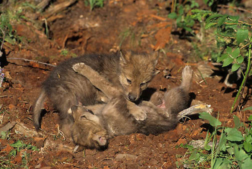 Gray Wolf, (Canis lupus) Pair of pups playing at den. Spring. Montana.  Captive Animal.