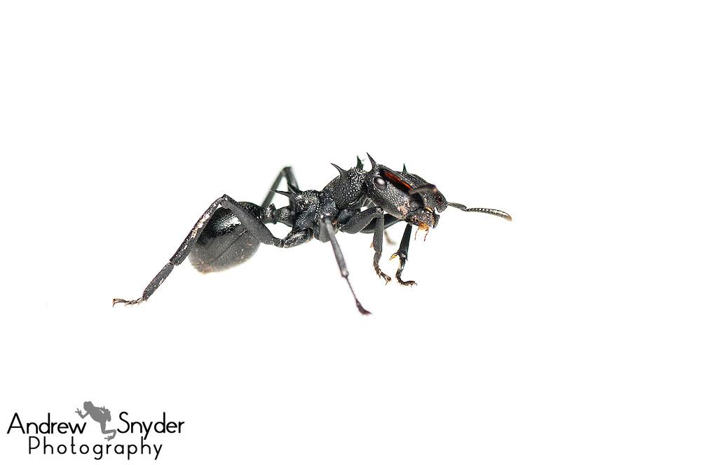 Gliding ant (Cephalotes atratus) - Iwokrama, Guyana