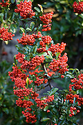 Firethorn Pyracantha, effective burglar deterrent shrub, The Cotswolds, Oxfordshire, United Kingdom