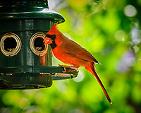 Male Red Cardinal at a bird feeder. Image taken with a Fuji X-H1 camera and 200 mm f/2 OIS lens + 1.4 x teleconverter