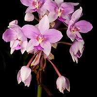 Spathoglottis pacifica Orchid on Kolombangara, Solomon Islands