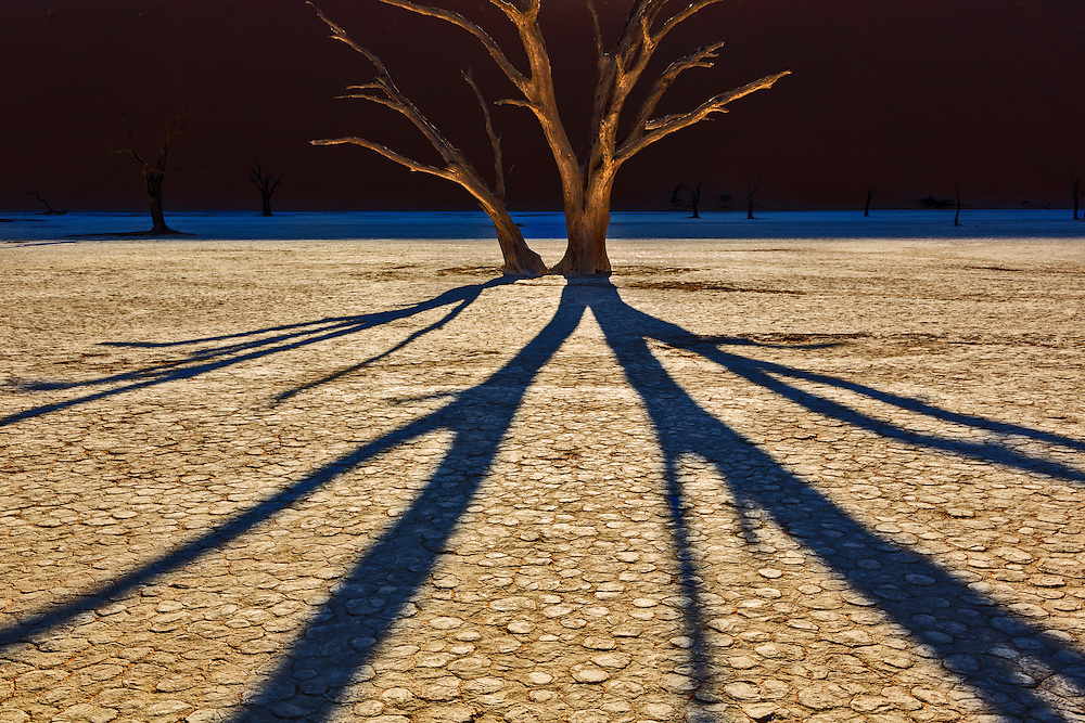 Backlighting creates dramatic shadows from this camelthorn tree.