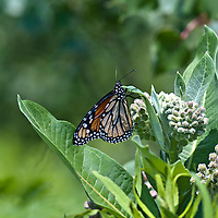 A Monarch butterfly feeding on Milkweed flower (Asclepias syriaca) a North American native perennial.