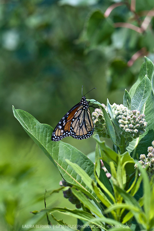 A Monarch butterfly feeding on Milkweed flower (Asclepias syriaca) a North American native perennial.