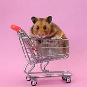 Hamster Pet Portrait