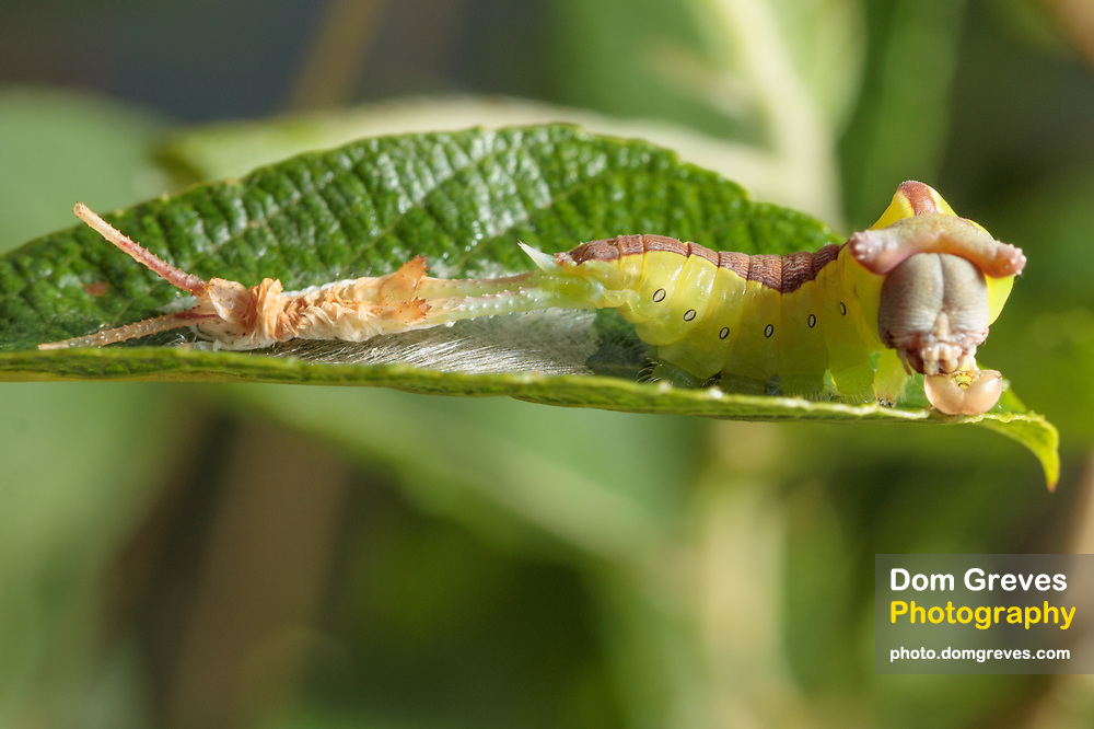 Puss moth (Cerura vinula) caterpillar sloughing its skin. Surrey, UK.