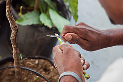 Department of Agriculture employee Troy King demonstrates grafting a mango tree.