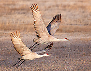 A pair of sandhill cranes execute a graceful unison takeoff.