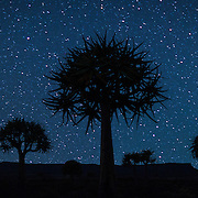 Quiver trees under a stary sky, Nieuwoudtville, South Africa.