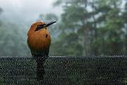 Rufous Motmot (Baryphthengus martii)<br /> Mashpi Rainforest Biodiversity Reserve<br /> Pichincha<br /> Ecuador<br /> South America