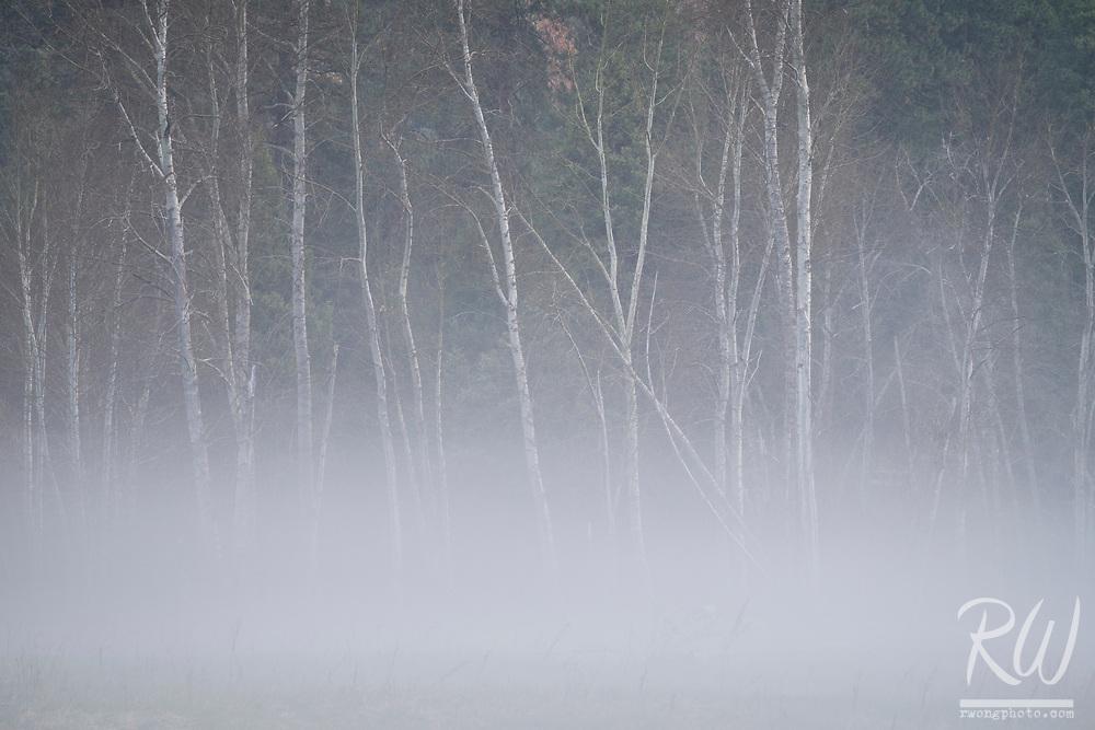 Aspen Trees in Morning Fog, Yosemite National Park, California