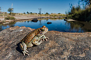 Red toad (Schismaderma Smith)<br /> Marakele Private Reserve, Waterberg Biosphere Reserve<br /> Limpopo Province<br /> SOUTH AFRICA<br /> Range: south-eastern regions of South Africa north to Tanzania &amp; Zaire