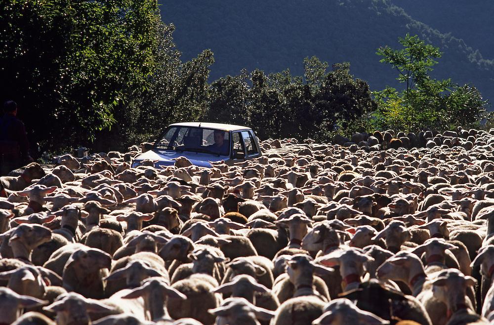 France, Languedoc Roussillon, Gard, Lozère, Cévennes, Aigoual, transhumance des moutons