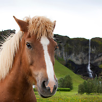 Iceland, Vik,  Icelandic Horse and waterfall along Ring Road on summer evening
