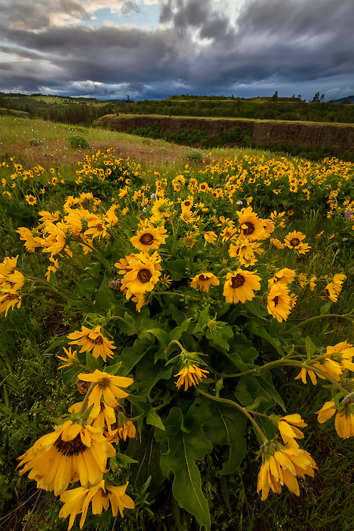 Arrowleaf yellow balsomroot wildflowers dot the hills on Rowena Crest in the Columbia River Gorge in Oregon.