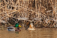 After a windy cold day this pair of Mallards rests next to the shore of the Bear River in northern Utah the ice on the reeds shows how high and rough the waves were in the wind.