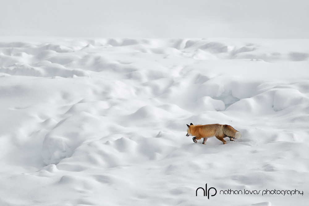 Red fox hunting in snow; Yellowstone NP in wild.