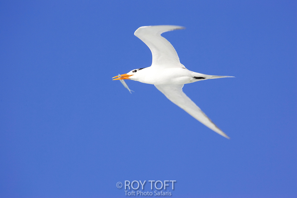 A royal tern bird flying with a fish in it's beak.