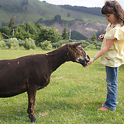 A young girls feeds a sheep during the Organic farm tour at Agrodome, Rotorua. The Agrodome offers visitors the experience of seeing through the eyes of a New Zealand farmer. Situated just north of Rotorua city on a scenic 160 hectare sheep and beef farm, Agrodome gives visitors an educational and hands-on experience..  Agrodome includes a Sheep Show featuring 19 breeds of sheep, sheep shearing, cow milking, lamb feeding and dog demonstrations. .The Organic Farm Tour gives visitors a hands-on experience with a variety of farm animals. Rotorua, New Zealand,. 10th December 2010 Photo Tim Clayton.