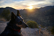 An Australian Cattle Dog, Blue Heeler, watches the sunset, Sonoran Desert, Coronado National Forest, Mount Lemmon, Summerhaven, Arizona, USA.
