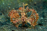 Ambon Scorpionfish (Pteroidichthys amboinensis) in Lembeh Strait, Indonesia.